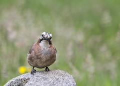 Eurasian Jay (Margaret S.S) Tags: jay eurasian corvid