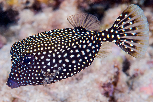Spotted Boxfish, juvenile - Ostracion meleagris