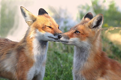 Mother Love (marylee.agnew) Tags: red foxes love mother kit emotion nature caring wildlife family outdoor canine