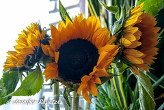 The sunflower sisters (Bernsteindrache7) Tags: summer sony alpha 100 yellow color flora fauna flower bloom blossom blume green home house indoor light makro
