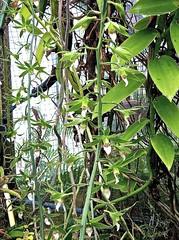 Eulophia euglossa 2 (heinvanwinkel) Tags: 2012 asparagales bloemvandedag cymbidieae epidendroideae eulophiaeuglossa eulophiinae euphyllophyta hortus juni leiden liliopsida magnoliophyta mesangiospermae nederland orchidaceae petrosaviidae spermatophyta tracheophyta