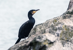Cormorants & Shags (12) (grahamh1651) Tags: newlyn tolcarne gulls divers waders