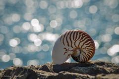 27 settembre 2016. Una giornata al mare... (adrianaaprati) Tags: mare sea shell conchiglia coquille schale bokeh mer meer calma allaperto sfocato blur nautilus