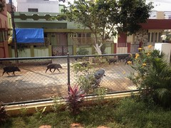 Wild boars in the street