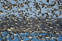 Large Flock of American Brants (KoolPix) Tags: nature birds animals flying wings birdsinflight bif flockofbirds naturephotography naturephotos naturephotographer hundredsofbirds jonesbeachny koolpix americanbrants thewonderfulworldofbirds largeflockofbirds photocontesttnc12 jaydiaz jaydiaznaturephotographer