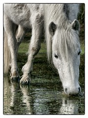 Thirsty New Forest Pony (53Bee) Tags: wild england horse reflection water grass flood drinking hampshire pony newforest wildponies wildhorses waterlogged