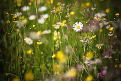 wanted: spring (Dennis_F) Tags: flowers light summer mountain mountains alps flower berg zeiss germany landscape deutschland licht dof sommer blumen berge 135 alpen makro landschaft 135mm karwendel