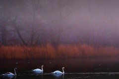 The swans at Cannop (Eric Goncalves) Tags: winter color sunrise swans waterscape cannop nikond7000 rememberthatmomentlevel4 rememberthatmomentlevel1 rememberthatmomentlevel2 rememberthatmomentlevel3