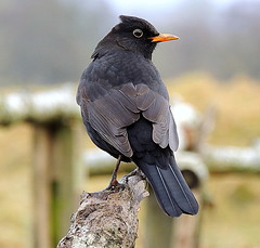 pams pixs black birds 064 (ivorrichardk) Tags: buzzsparblackbirds