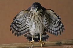 Juvenile Little Sparrowhawk ( Accipiter minullus) (ruslou (More off than on)) Tags: nature southafrica warmbaths ruslou belabela zwartkloofprivategamereserve kleinsperwer juvenilelittlesparrowhawkaccipiterminullus