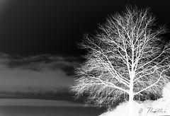 130122 bnn 130123  Ththi (thethi (don't like beta groups)) Tags: bw nature belgium belgique photoshopped hiver nb neige nuit arbre gel froid namur bouleau wallonie ruby10 bestof2013 setbwsepia vgtauxquot albumjanvier faves26 setvegetaux