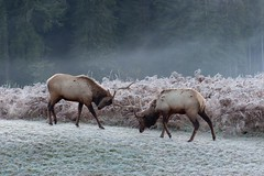 Elks playing at Redwoods National Park (javi.velazquez) Tags: california park morning trees winter snow fog fight foggy national elk mammals redwoodnationalpark freeforcommercialuse