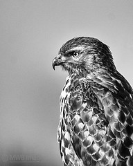 B&W Of A Red-tail Hawk Portrait (mwbergeron01) Tags: blackandwhite bw hawk henry raptor redtailhawk 150500mmlens