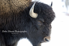 Bison bull portrait (Deby Dixon) Tags: winter snow nature cows wildlife bull yellowstonenationalpark yellowstone wyoming bison calves debydixonphotography