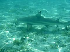 IMGP0281 (prelude2000) Tags: タヒチ ボラボラ島 tahiti borabora island サメ 鮫 shark 海 sea tropical polynésie polynesia société ソシエテ諸島 ポリネシア 大溪地 波拉波拉