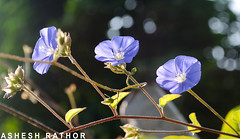 skyblue clustervine (asheshr) Tags: blue india flower nikon bokeh creeper skyblue threeflowers cuttack 3flowers skyblueclustervine clustervine odisha d5100