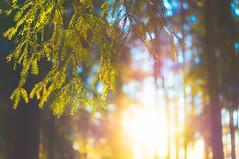 Forest Colors (dennisdasfoto) Tags: winter tree nature sunshine forest vinter sweden bokeh vibrant schweden natur skog gran sverige boke wald spruce baum trd fichte sonnenschein solsken dt50mmf18sam