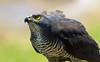 African Goshawk (marccrowther) Tags: bird nikon bokeh telephoto birdofprey d3200 flickrchallengegroup flickrchallengewinner 15challengeswinner favescontestwinner thechallengefactory dragondaggerphoto dragondaggeraward photoofthedaynwf12 nikon55300mmf4556 nikon55300mmf4556gvr