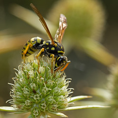 Poliste gaulois (Polistes dominula) European Paper Wasp (Sinkha63) Tags: summer france macro nature animal female wasp wildlife martel fra hymenoptera gupe paperwasp midipyrnes vespidae vespinae europeanpaperwasp polistes polistesdominula eryngiumcampestre poliste hymnoptres panicautchamptre fielderyngo polistegaulois