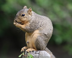 Back to Nature (Hedi-Alana) Tags: nature beauty animal animals zoo amazing squirrel squirrels texas bokeh natures naturesfinest fantasticnature