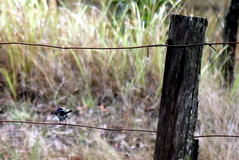 IMG 7468 Blue Wren (Eminpee Fotography) Tags: nature birds australia bluewren