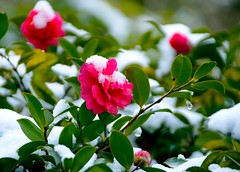Sasanqua in Snow (love_child_kyoto) Tags: winter flower   camellia worldheritage   ginkakujitemple masterphotos artisticflowers takenwithlove sasangua mindigtopponalwaysontop  dreamlikephotos