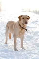 Labrador (DavDesign: David Berkes) Tags: winter dog white snow macro nature animal canon eos labrador 100mm 5d usm kutya állat természet mki hó fehér tél davdesign wwwdavdesignhu