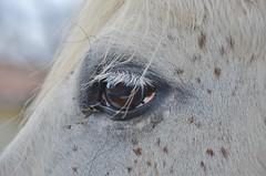 In the Eye (Tinina67) Tags: horse france eye connemara soul tina stud selfie gers garros elevage tinina67