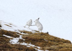 Boxing Mountain Hares #4 (Lepus timidus scoticus)1883 (Highland Andy (Andy Howard)) Tags: winter mountain snow nature scotland hare wildlife scottish highland boxing cairngorm cairngormnationalpark lepus timidus mountainhare lepustimidus canon7d boxinghare highlandnatureimages boxingmountainhare