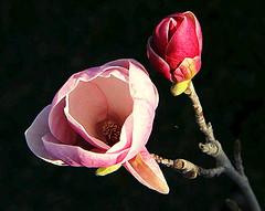 _MG_7212 (thantrongnhan) Tags: ngc flowersarebeautiful excellentsflowers mimamorflowers flickrflorescloseupmacros flowerthequietbeauty