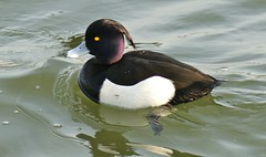 Tufted Duck. 'aythya fuligula' (Paul (Barniegoog)) Tags: lake bird nature water duck waterbird northants tuftedduck daventry