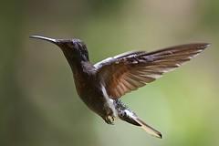 Black Jacobin (Florisuga fusca) (PeterQQ2009) Tags: brazil birds blackjacobin beijaflorpreto florisugafusca