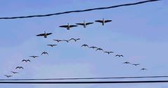 Crossing to the finish line (Posterize) (HOWLD) Tags: canon geese wire howd oaklandlake 135mmf2 oaklandgardens uploadedviaflickrqcom 5dmiii howardlaudesign