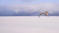 s AT DSC_7111 (Andrew JK Tan) Tags: winter snow bird japan swan hokkaido flight whooperswan 2013