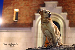 IMG_0207 (BernaPhotography) Tags: dog pet yellow night lab serbia labradorretriever belgrade zemun semlin