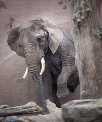 _DSC2913.jpg (Ingeborg Ruyken) Tags: elephant zoo march nederland thenetherlands rhenen olifant maart dierentuin naturephotography ouwehandsdierenpark zooanimals natuurfotografie 2013 maartjegozefoort catzooanimals