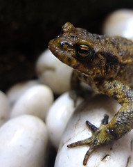 Toad  March 2013 Penzance (A30yoyo) Tags: frog toad penzancecornwalluk