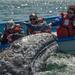 Friendly Grey Whale