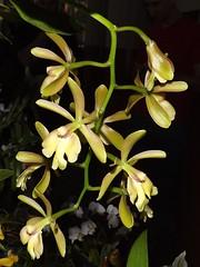 Epi. moyobambae x Catt. forbesii (rstickney37) Tags: epidendrum epicattleya cattleyaforbesii epidendrummoyobambae epidendrumcoronatum