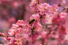 Red Plum Blossoms (홍매화) (insung jeon) Tags: korea 60mm 통도사 tongdosatemple 양산 redplumblossoms 홍매화 nx20