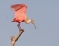 Roseate Spoonbill (Let there be light (A.J. McCullough)) Tags: birds texas rookery nesting audubon highisland texasbirds specanimal houstonaudubon uppertexascoast smithoaks