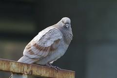 Taube / Pigeon (begumidast) Tags: color bird nature birds animal animals canon eos tiere outdoor pigeon natur 7d taube soe vogel ef70300 vogel eos7d canoneos7d begumidast mygearandme canonef70300mmf456lisusm artistoftheyearlevel2 musictomyeyeslevel1