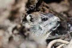 Groundhog (slapshots) Tags: nature animals nikon kentucky bigma wildlife sigma os louisville 50500 d7000 nikond7000