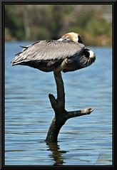 Stick Bird (WanaM3) Tags: park nature texas wildlife pelican bayou pasadena canoeing paddling brownpelican a77 bayareapark armandbayou avianexcellence sonya77 wanam3