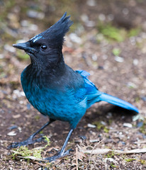 Steller's Jay (Cyanocitta stelleri) (absencesix) Tags: home nature birds animals iso800 march washington backyard unitedstates wildlife birding noflash redmond northamerica locations wildanimals 400mm 2013 englishhill 400mmf28 stellersjaycyanocittastelleri geo:state=washington exif:iso_speed=800 geo:city=redmond activityaction apertureprioritymode hascameratype haslenstype selfrating2stars redmondwashingtonunitedstates exif:focal_length=400mm camera:make=nikoncorporation 1400secatf28 exif:make=nikoncorporation geo:countrys=unitedstates exif:aperture=28 subjectdistanceunknown crowsandjaysfamilycorvidae nikond800e geo:lat=477206697 geo:lon=1221092737 474314n122633w exif:model=nikond800e camera:model=nikond800e exif:lens=4000mmf28 nikkor400mmf28gedafsvr march152013