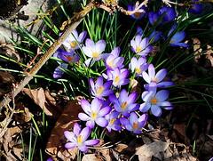 Spring is there (mujepa) Tags: flower primavera nature fleur garden spring jardin crocus printemps frhling photographyforrecreation