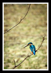 The Eternal Glance (Ronie Amin) Tags: blue orange bird nature wildlife birding kingfisher bangladesh chittagong commonkingfisher alcedoatthis hatia noakhali machranga nijhumdwip