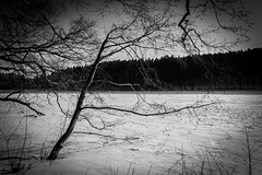 Survivor (AlanScerbakov) Tags: trees bw white lake black tree nature forest nikon 1855mm lithuania survior d3100 alanscerbakov