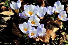 Le chant des crocus (Diegojack) Tags: fleurs crocus plantes morges