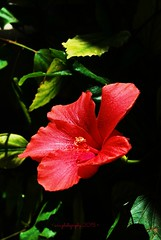 my hibiscus' first flower is here !!! (~evi's...~) Tags: flowers light red colors hibiscus